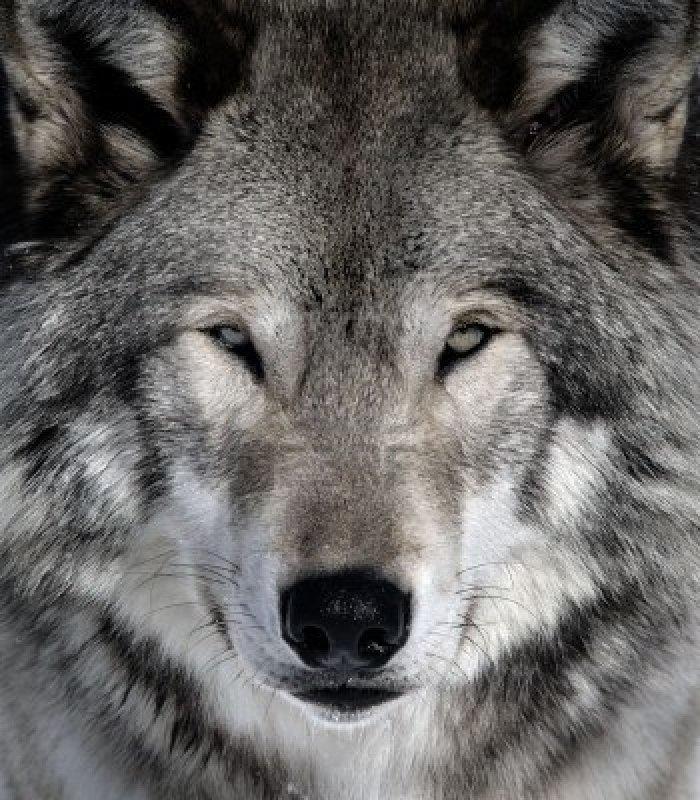 -un-lobo-gris